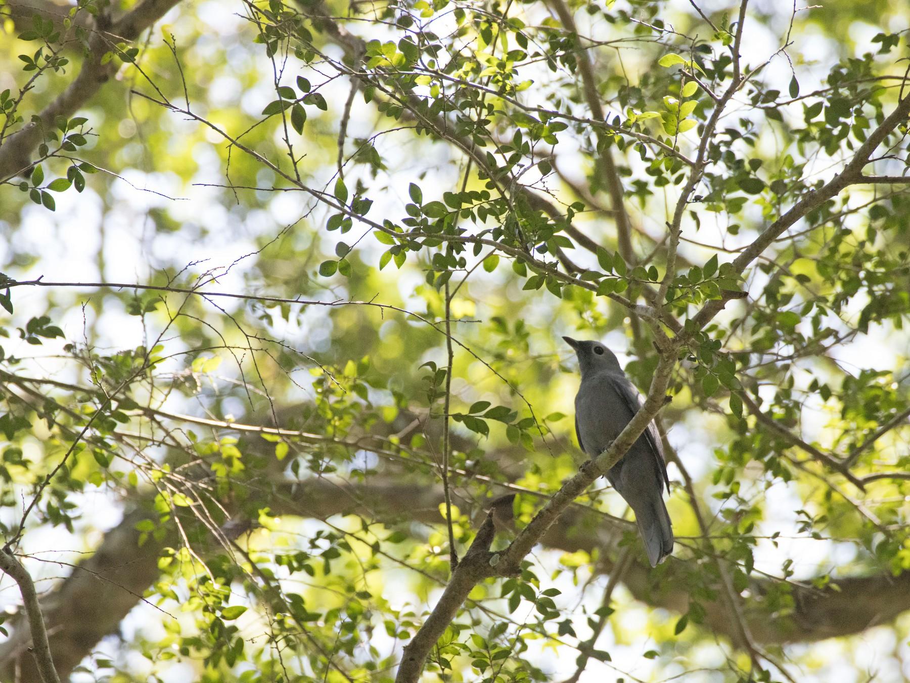 Gray Cuckooshrike - Angus Fitton