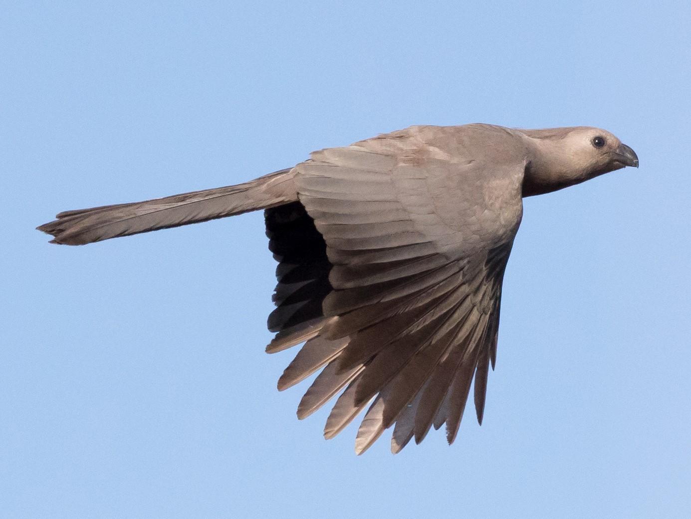 Gray Go-away-bird - Vivek Menon