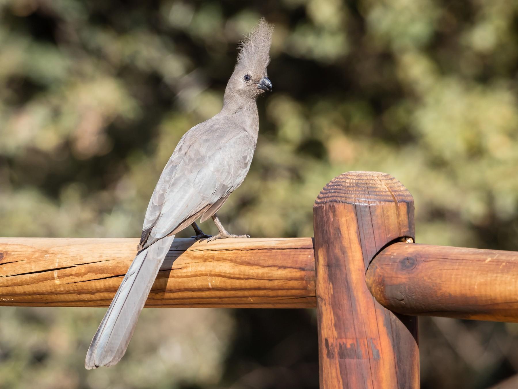 Gray Go-away-bird - Jim Hoover
