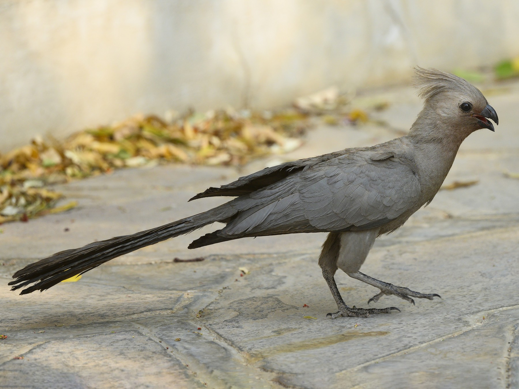 Gray Go-away-bird - Peter Hawrylyshyn