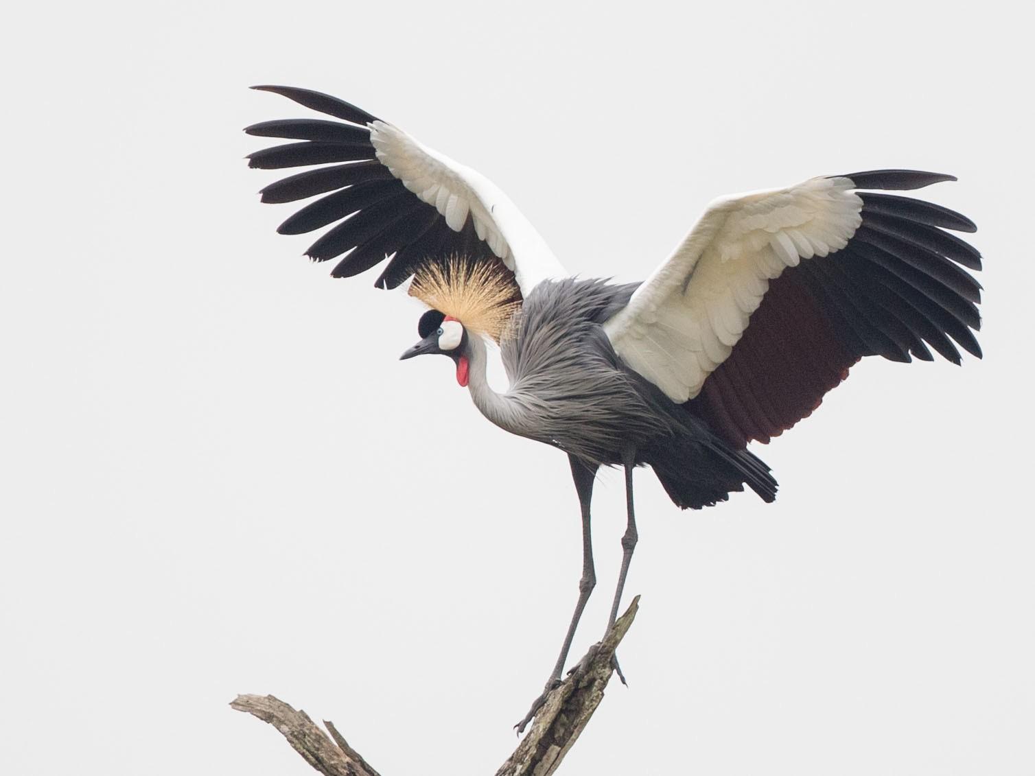 Gray Crowned-Crane - Ian Davies