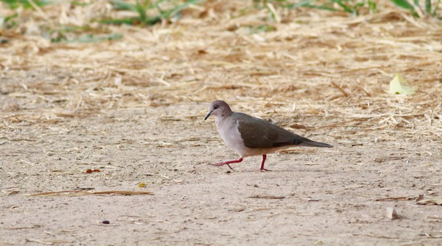 White-tipped Dove (White-tipped)