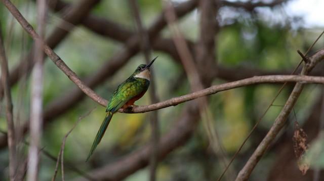 Rufous-tailed Jacamar (Rufous-tailed)