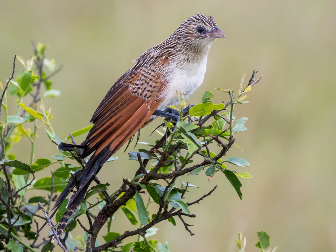 White-browed Coucal - Tyler Davis