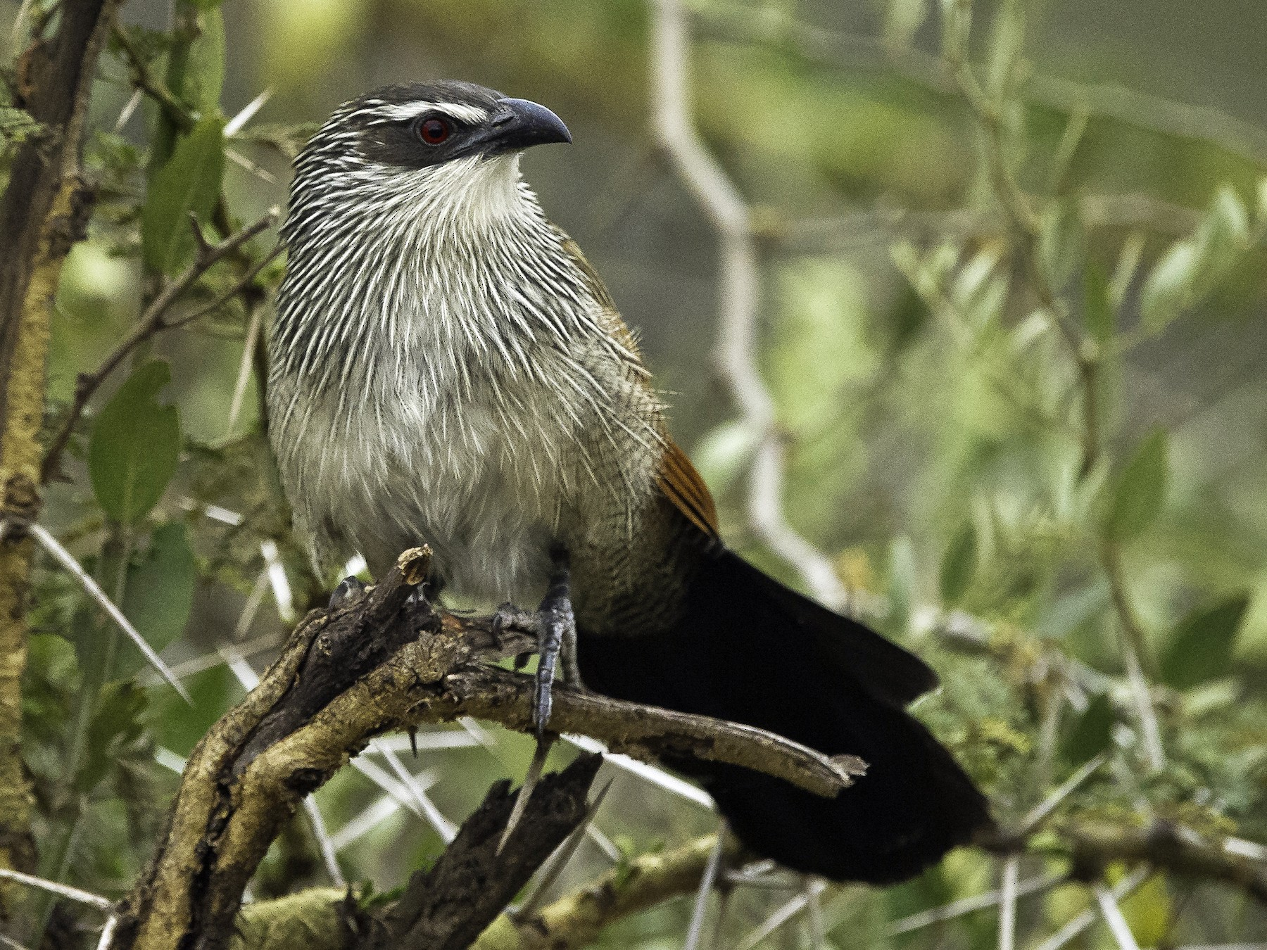 White-browed Coucal - Robert Johnson