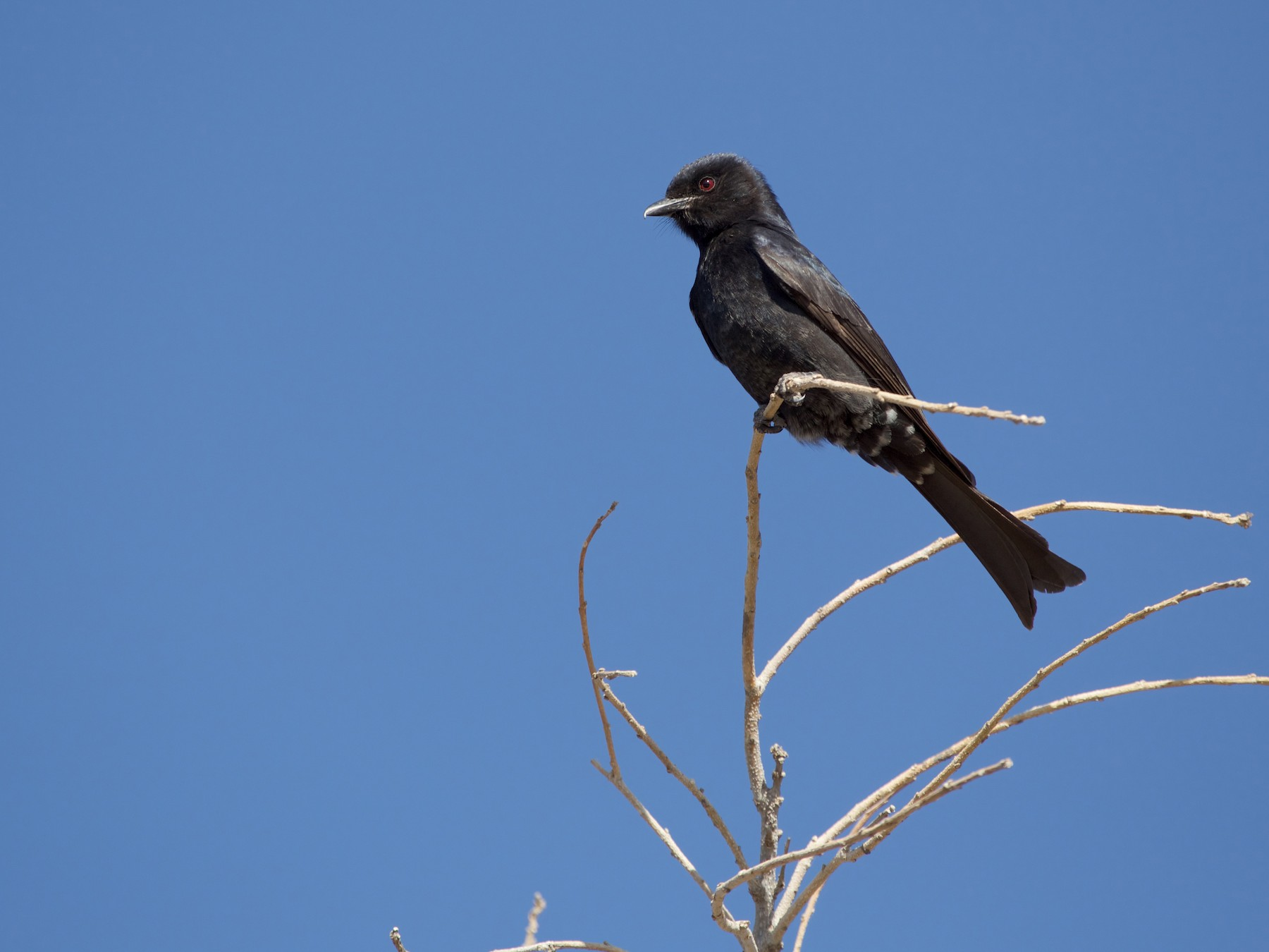 Fork-tailed Drongo - Lewis Steller