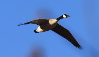 Canada Goose, ML221339281