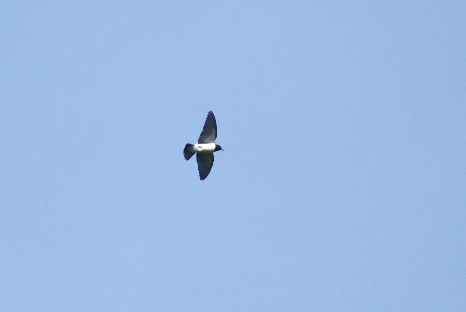 Bismarck Woodswallow - Stephan Lorenz