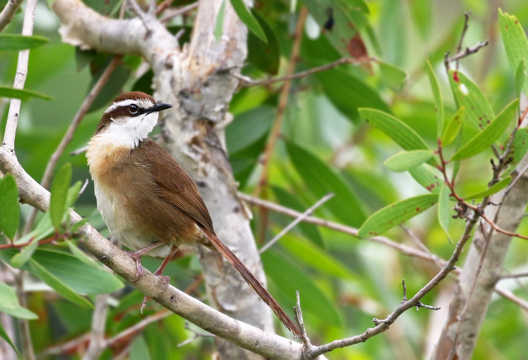 New Caledonian Grassbird - Andrew Spencer