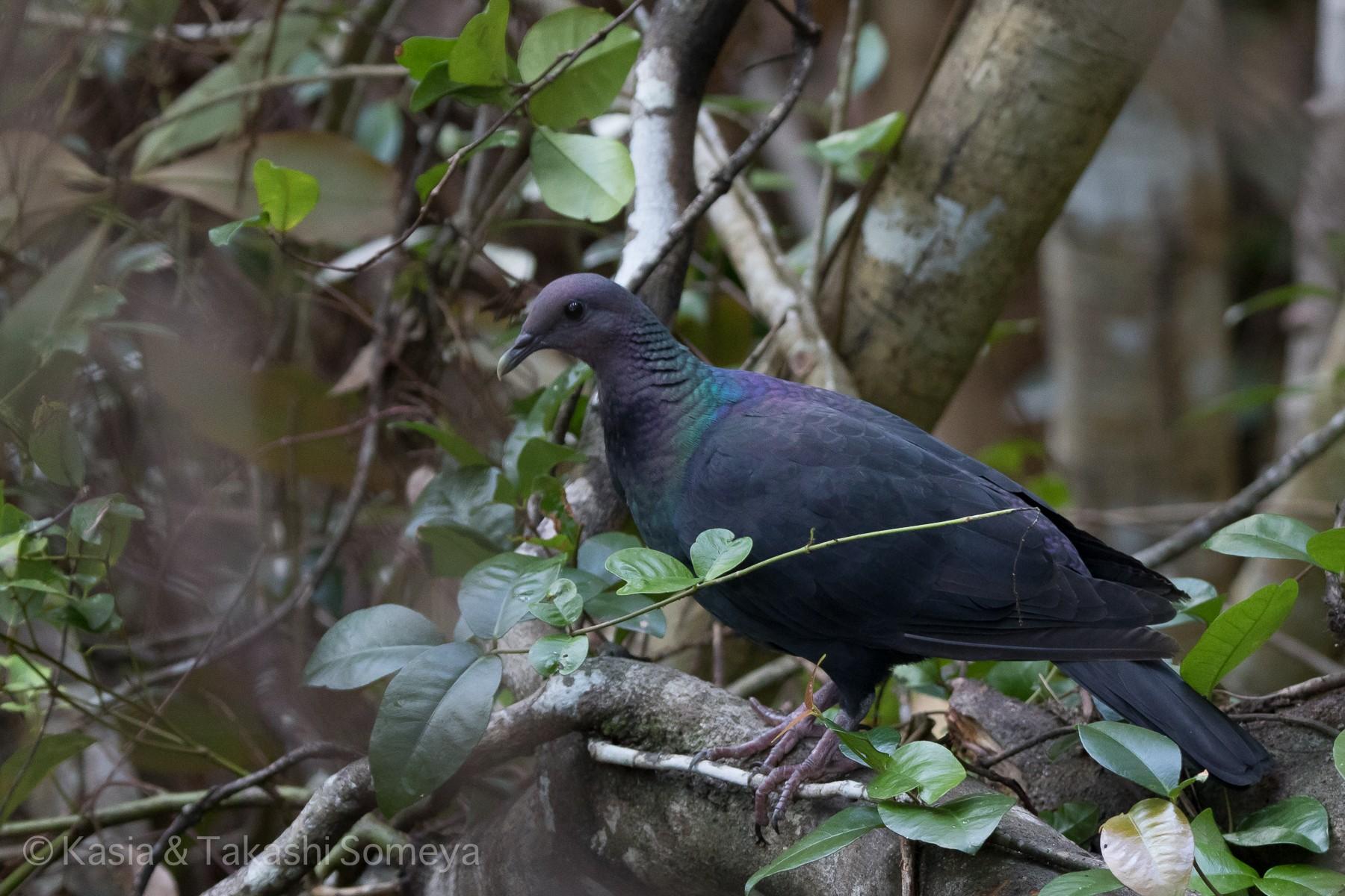 Japanese Wood-Pigeon - Kasia & Takashi Someya
