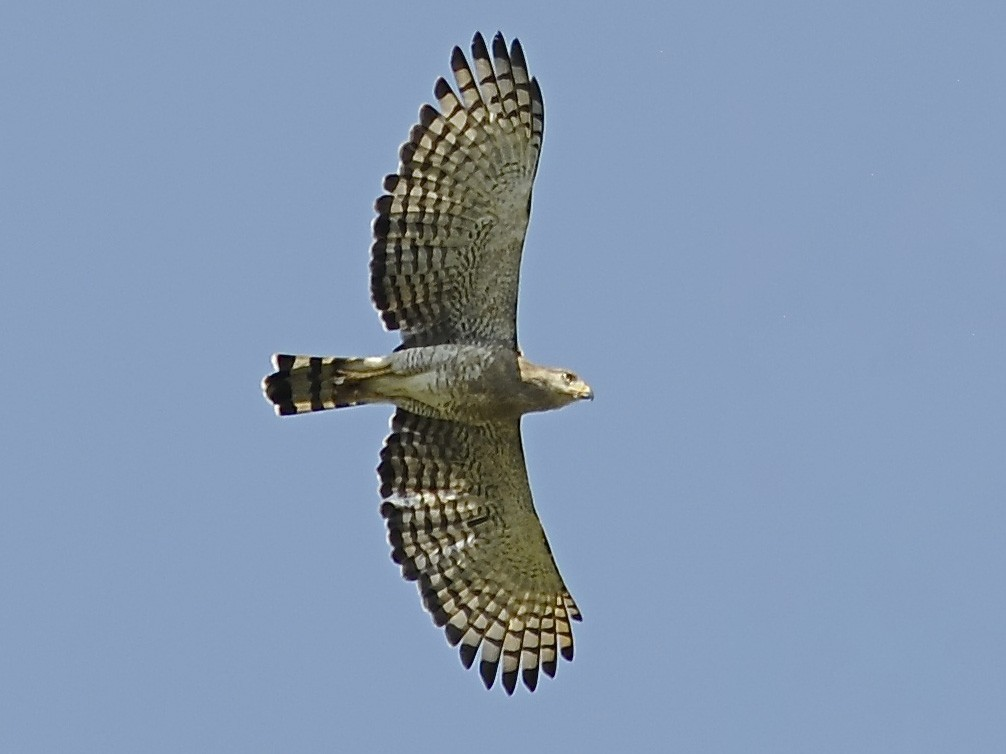 Fasciated Snake-Eagle - Theresa Bucher