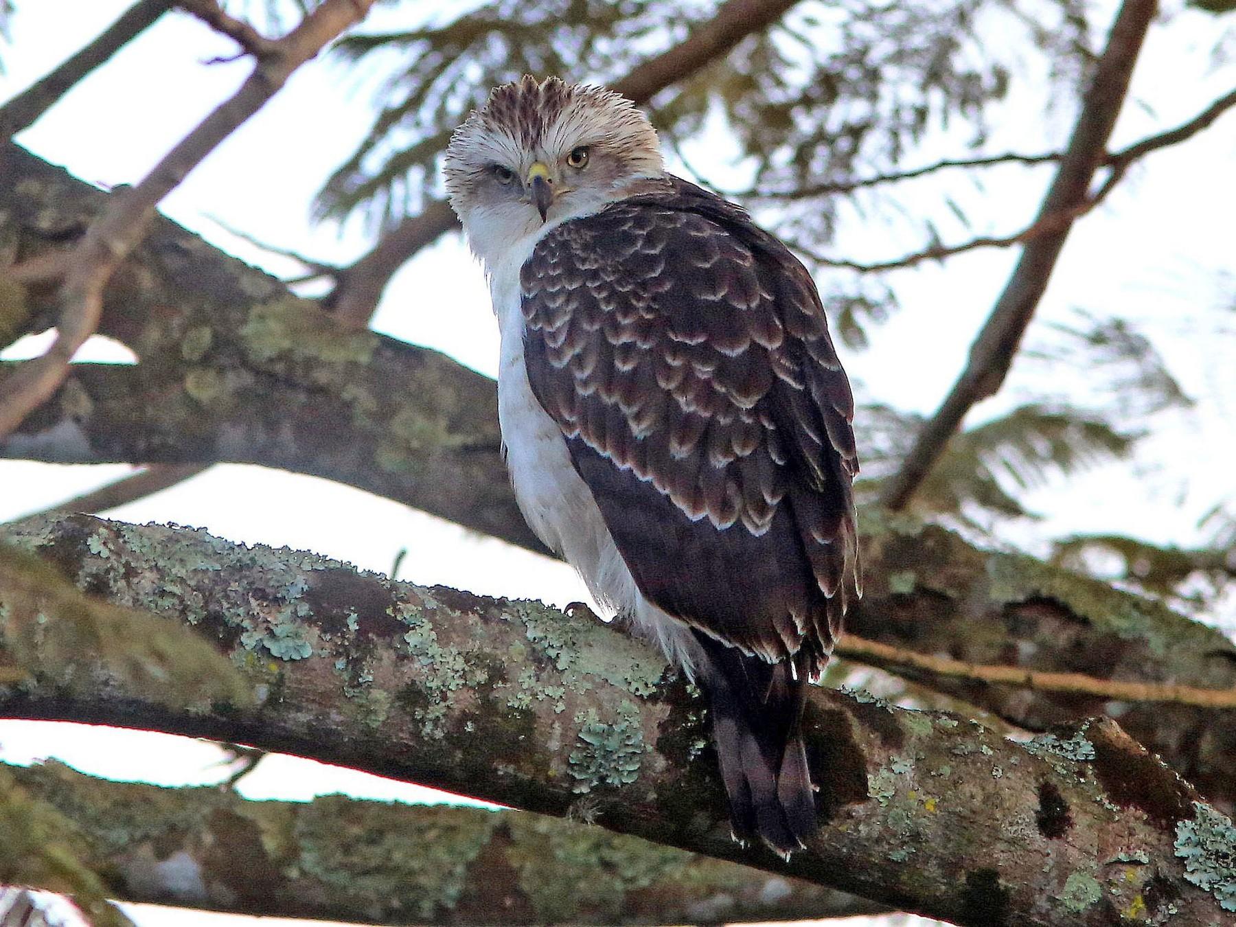 Fasciated Snake-Eagle - Brad Bergstrom