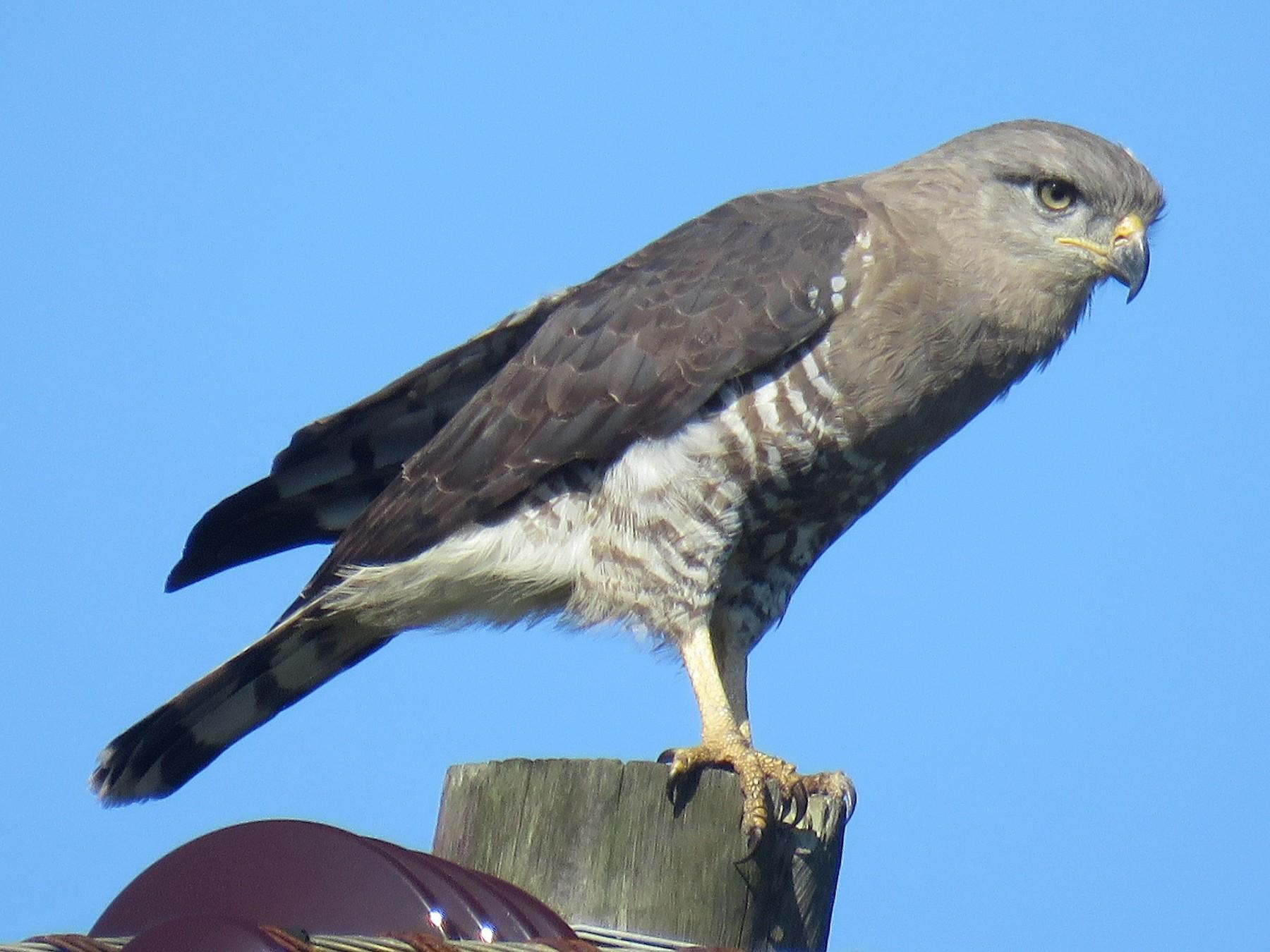 Fasciated Snake-Eagle - Örjan Sjögren