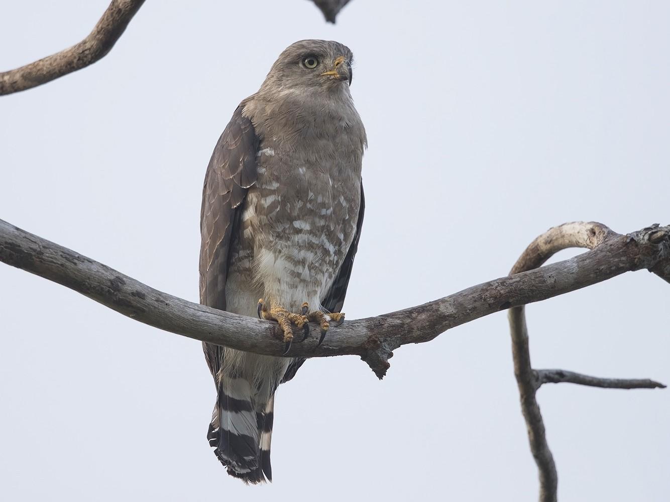 Fasciated Snake-Eagle - Niall D Perrins
