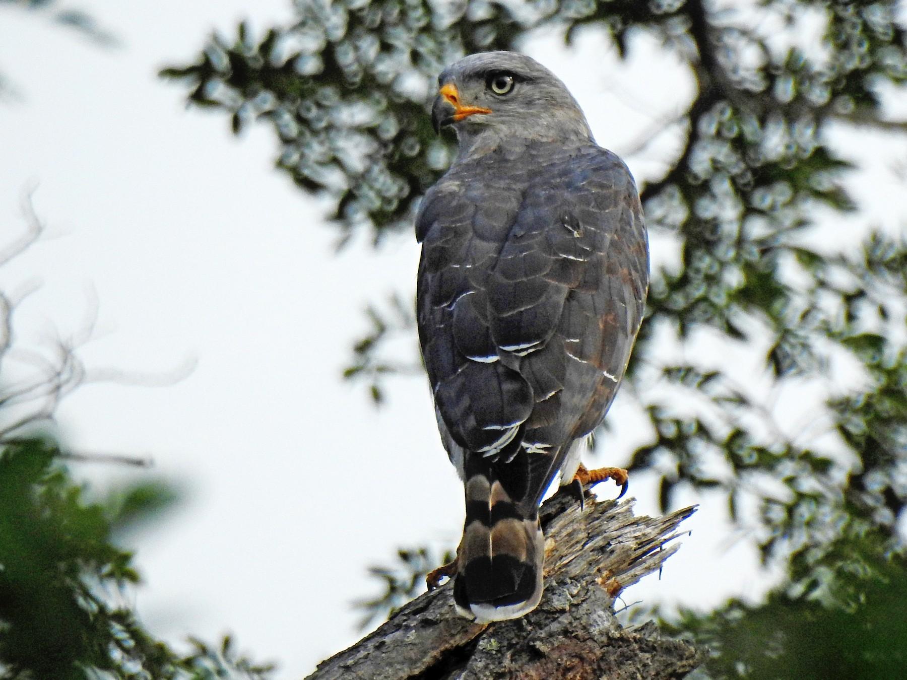 Fasciated Snake-Eagle - Joshua Smolders