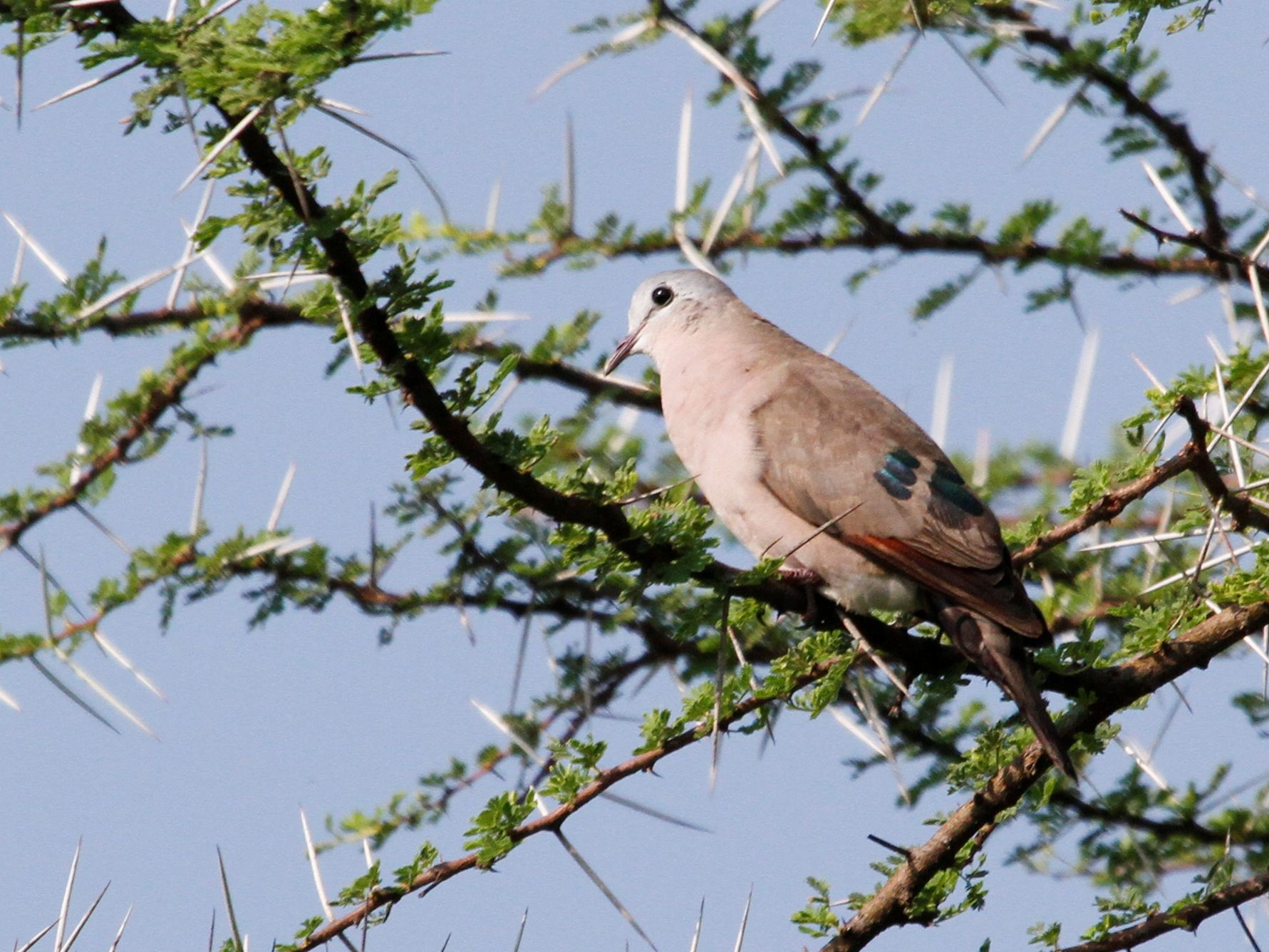 Emerald-spotted Wood-Dove - Reinhard Vehring