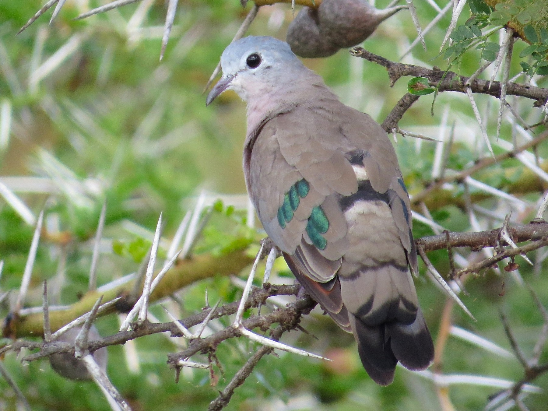 Emerald-spotted Wood-Dove - Adam Dudley