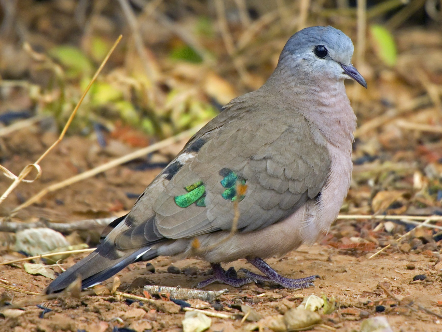 Emerald-spotted Wood-Dove - Antonio Rodriguez-Sinovas