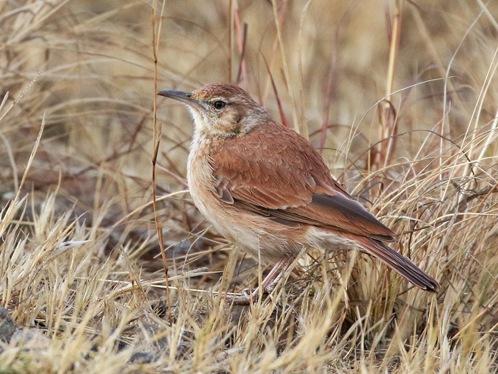 Eastern Long-billed Lark - Charley Hesse
