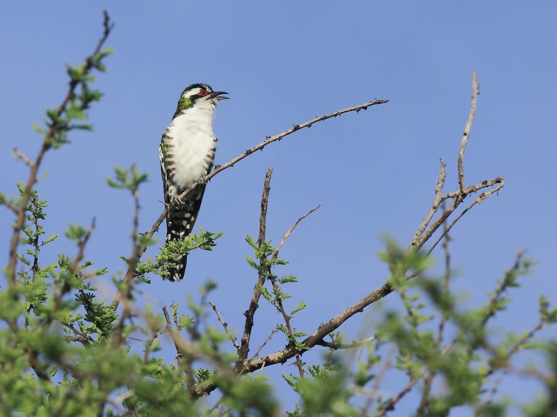 Dideric Cuckoo - Loutjie Steenberg