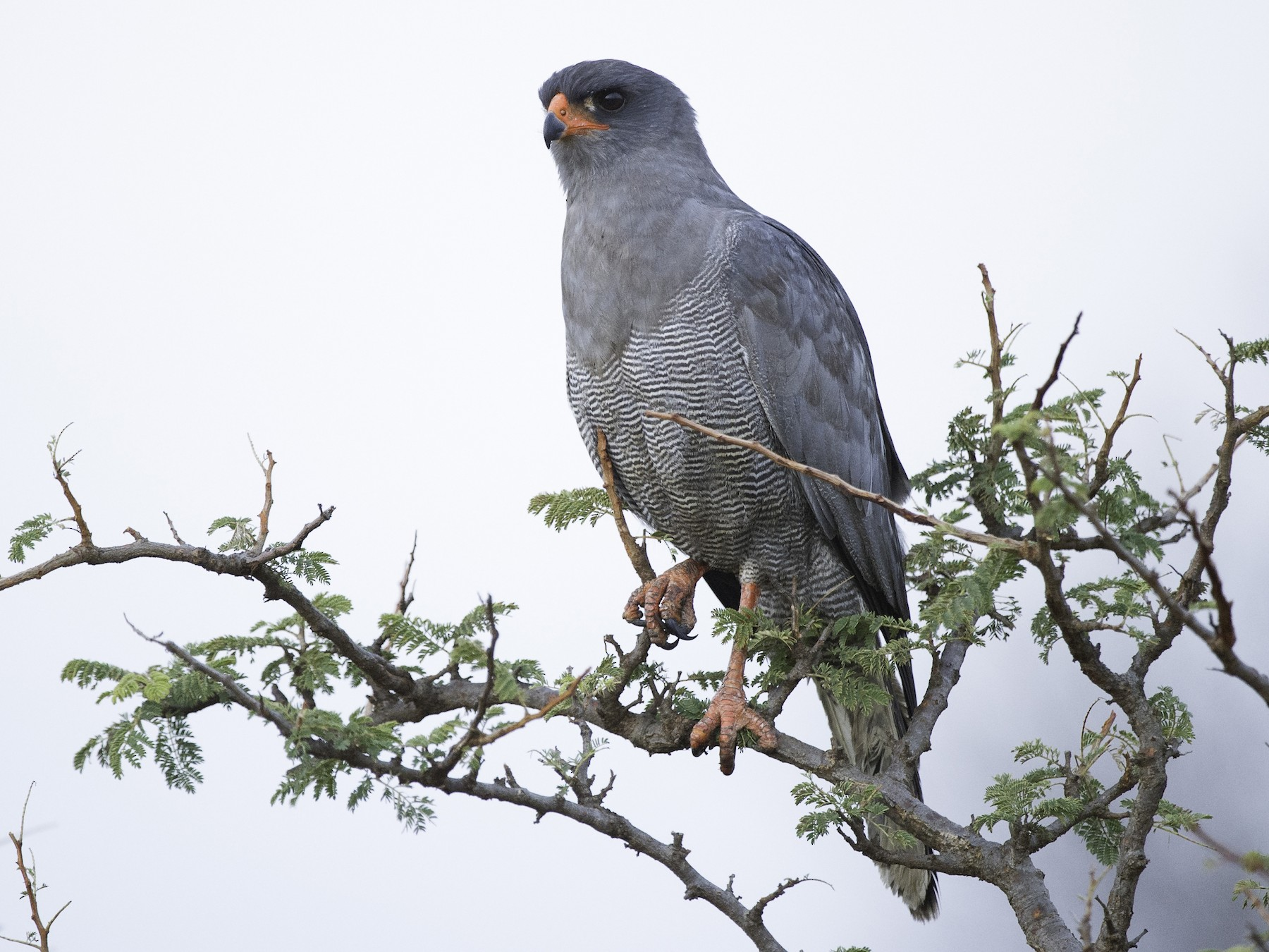 Dark Chanting-Goshawk - Robert Johnson