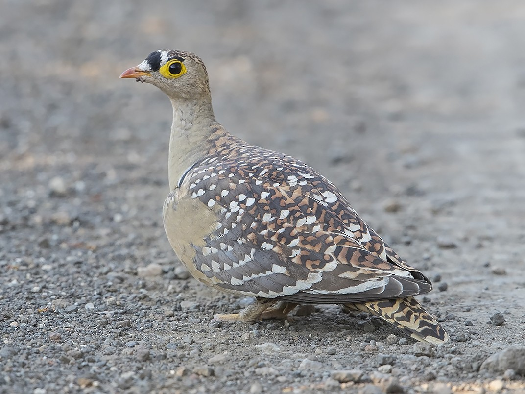 Double-banded Sandgrouse - Niall D Perrins