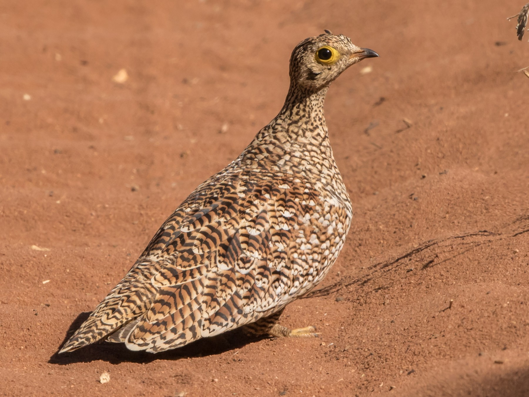Double-banded Sandgrouse - Rudolph Oosthuizen