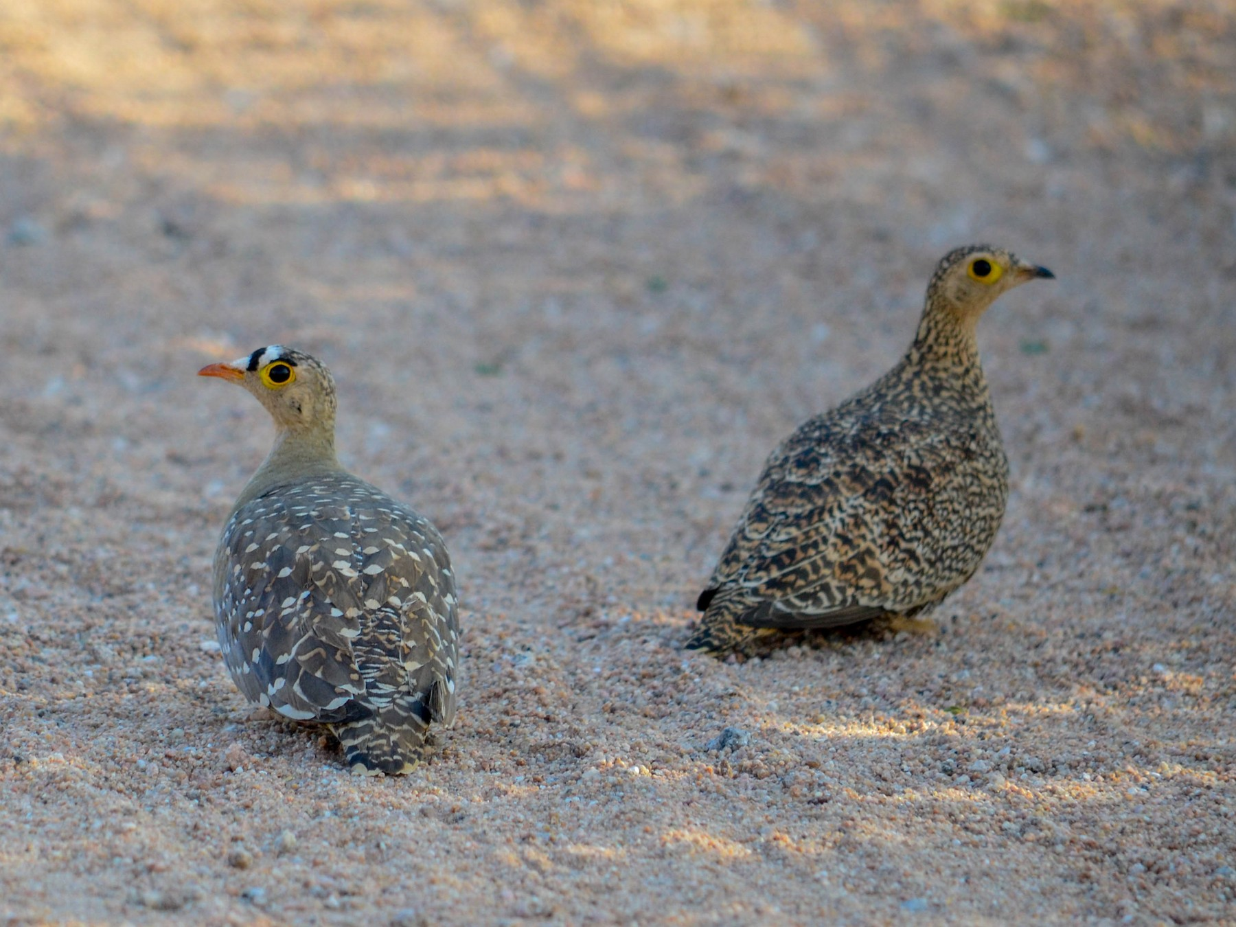 Double-banded Sandgrouse - Theys Radmann