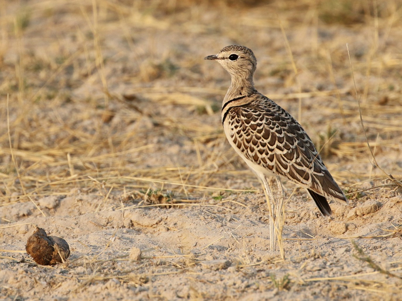 Double-banded Courser - Charley Hesse