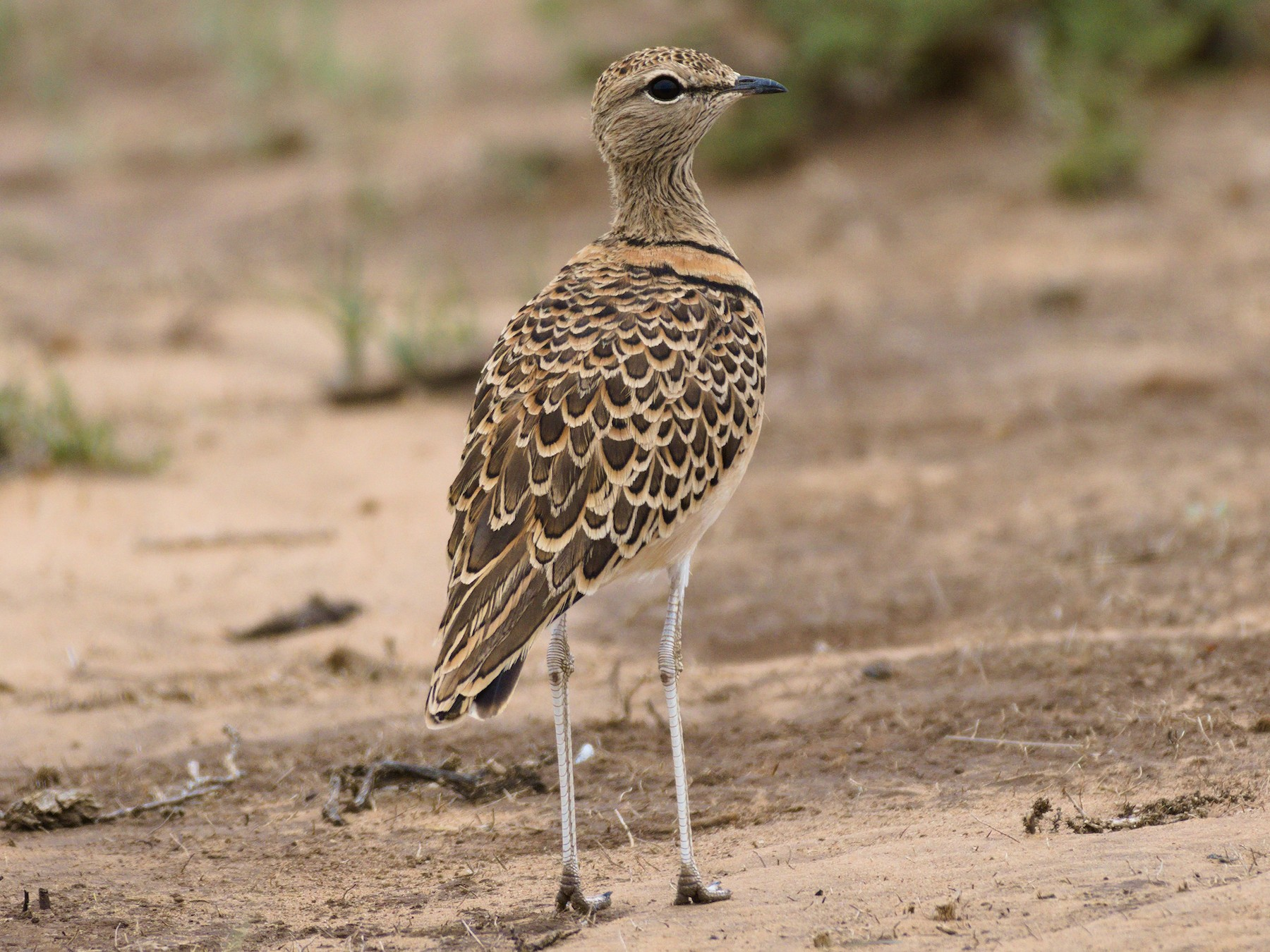 Double-banded Courser - Richard Gray