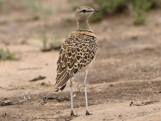 - Double-banded Courser