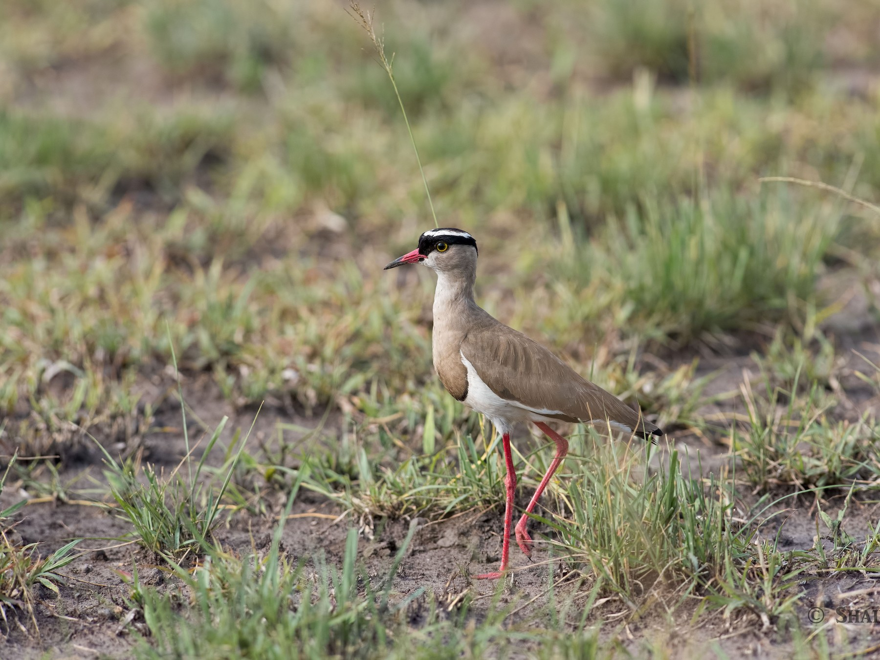 Crowned Lapwing - Shailesh Pinto