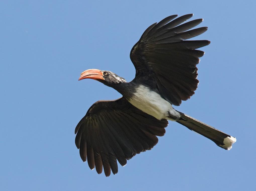 Crowned Hornbill - Lars Petersson