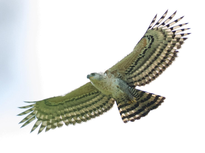 Crowned Eagle - Richard Webber