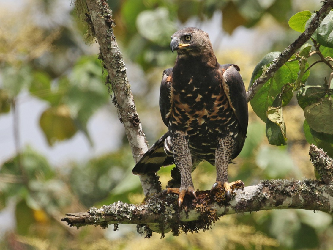 Crowned Eagle - Charley Hesse