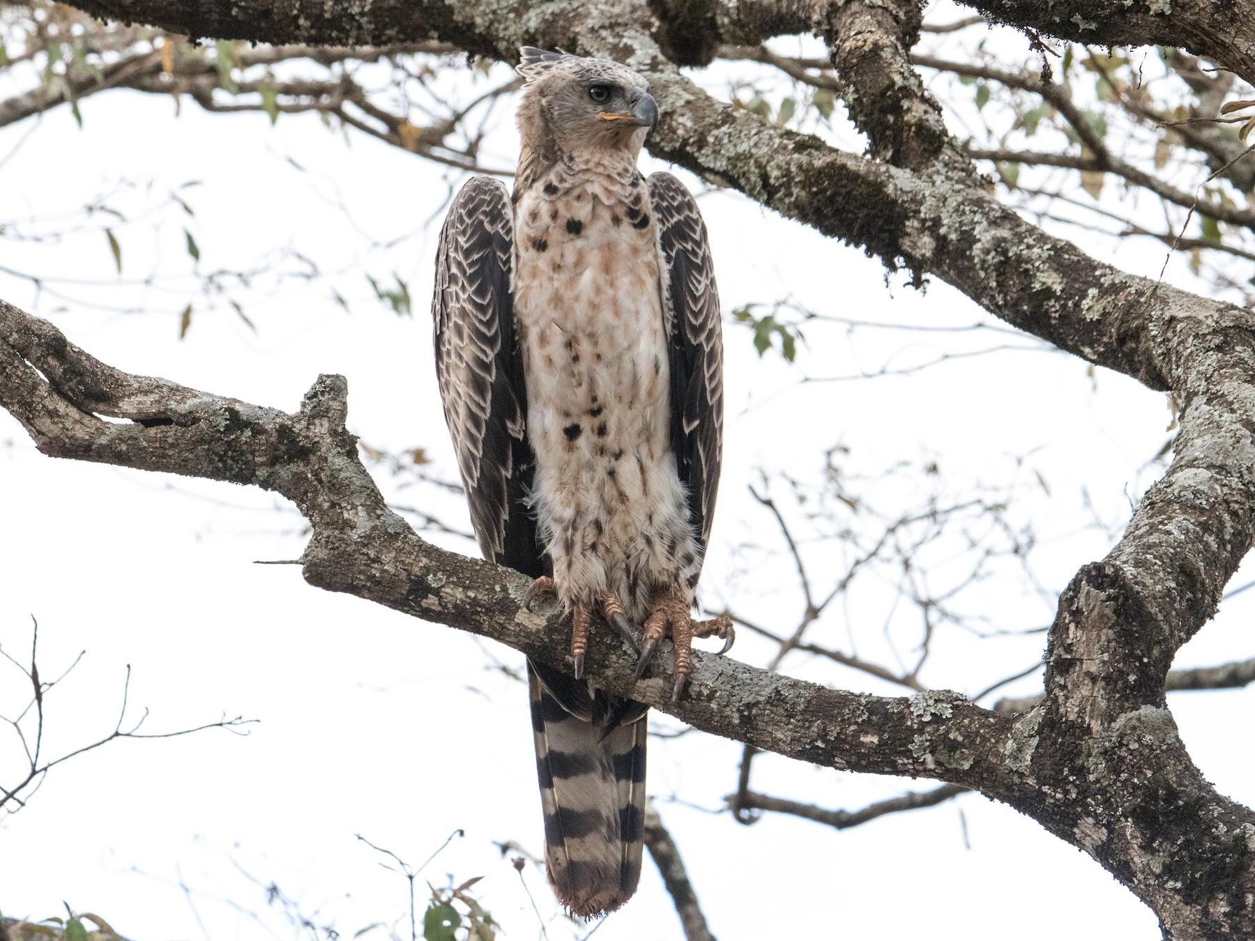 Crowned Eagle - Peter  Steward
