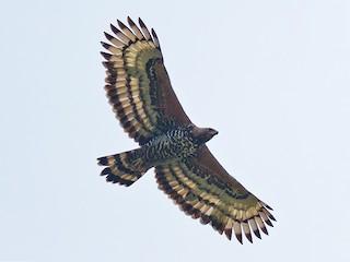 - Crowned Eagle