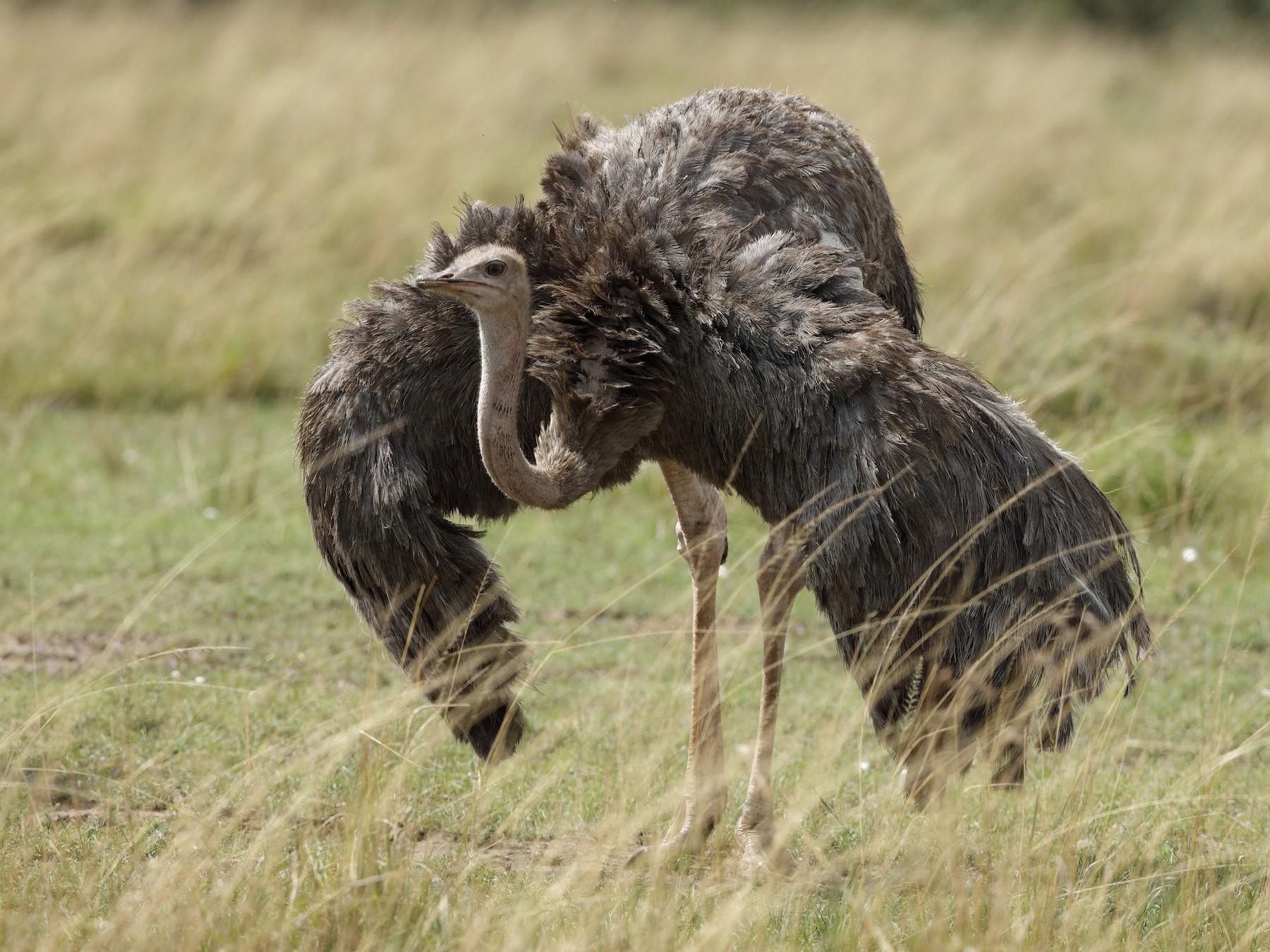 Common Ostrich - Holger Teichmann