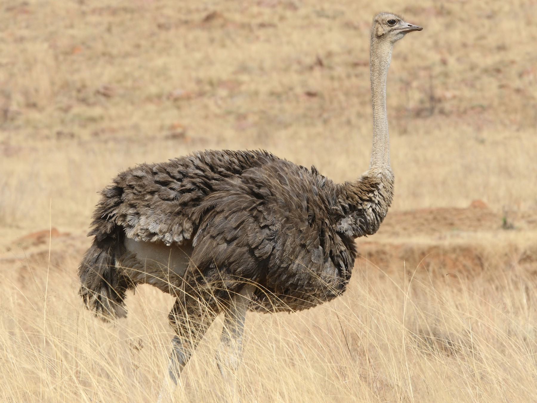 Common Ostrich - Olivier Langrand