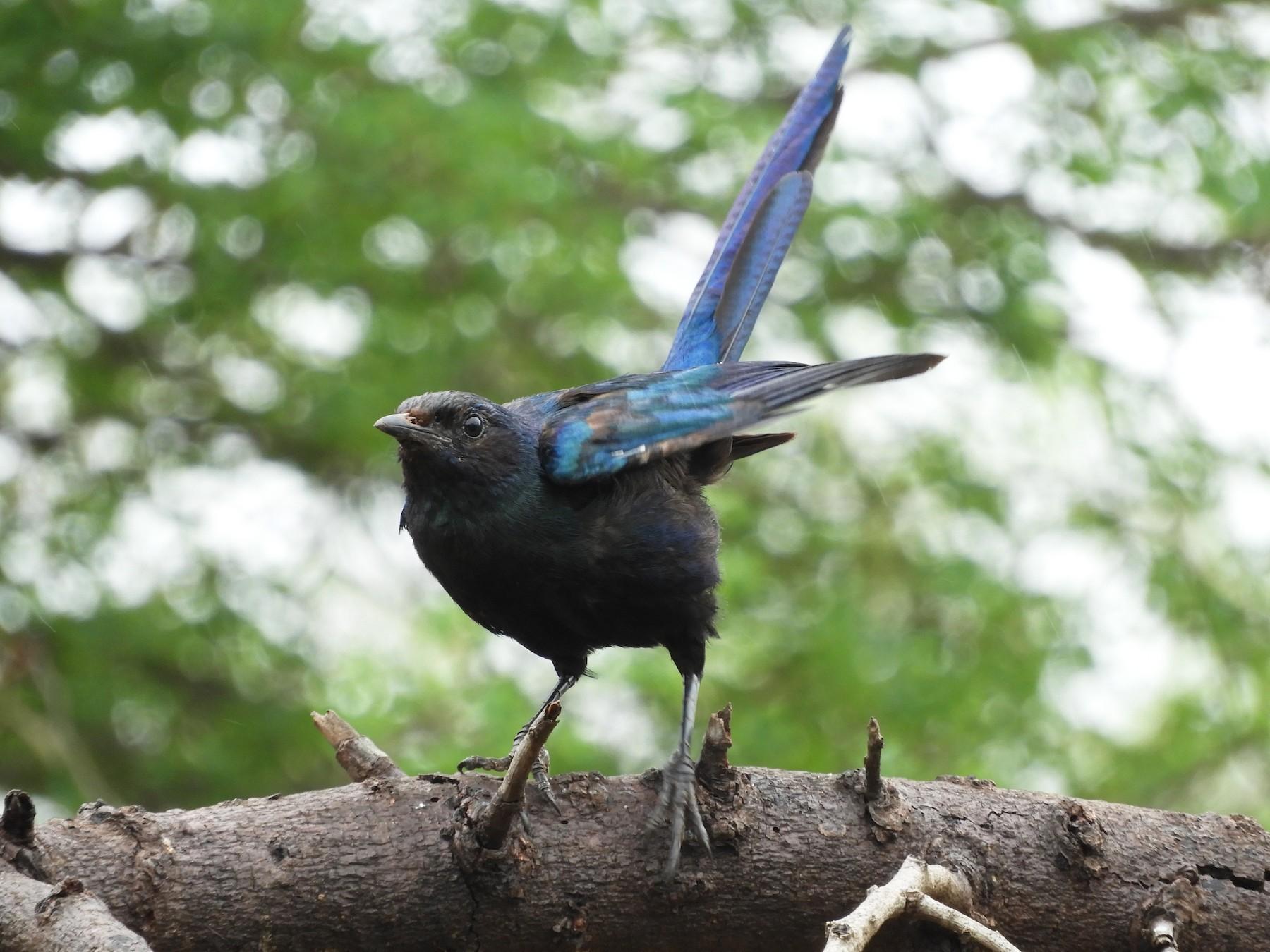 Burchell's Starling - Anonymous eBirder