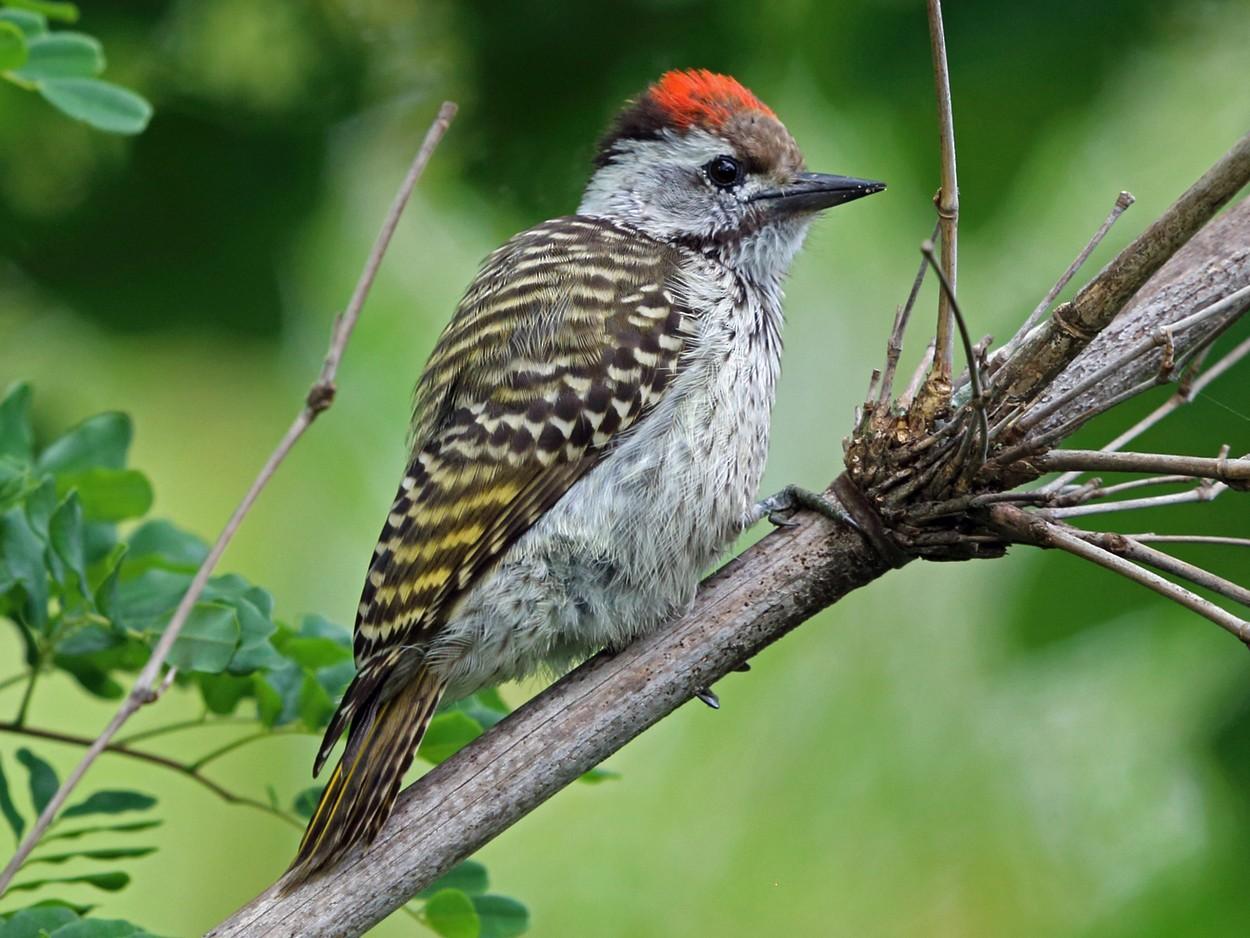 Cardinal Woodpecker - Nigel Voaden
