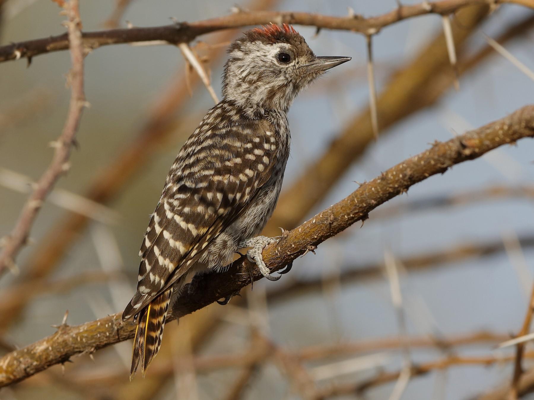 Cardinal Woodpecker - Holger Teichmann