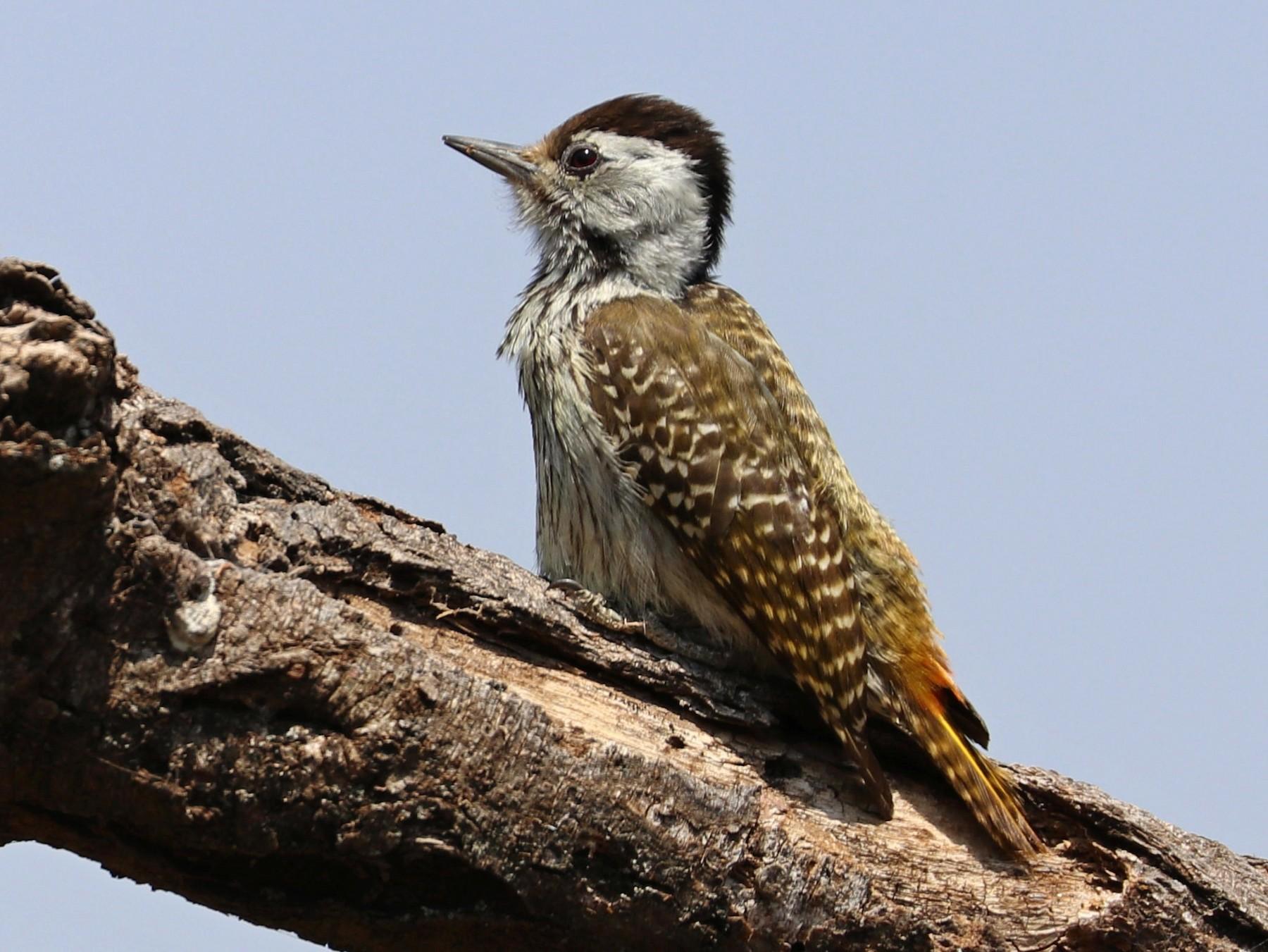 Cardinal Woodpecker - Julien Lamouroux