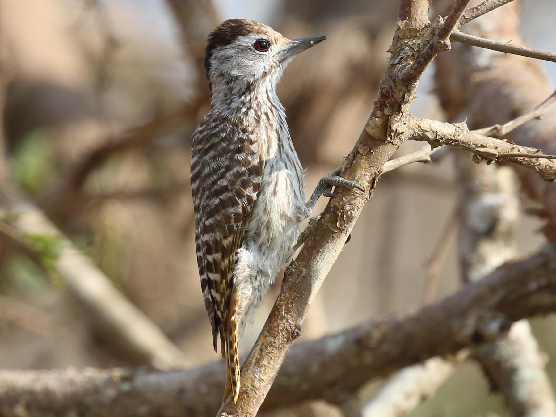 Cardinal Woodpecker - Oliver Fowler