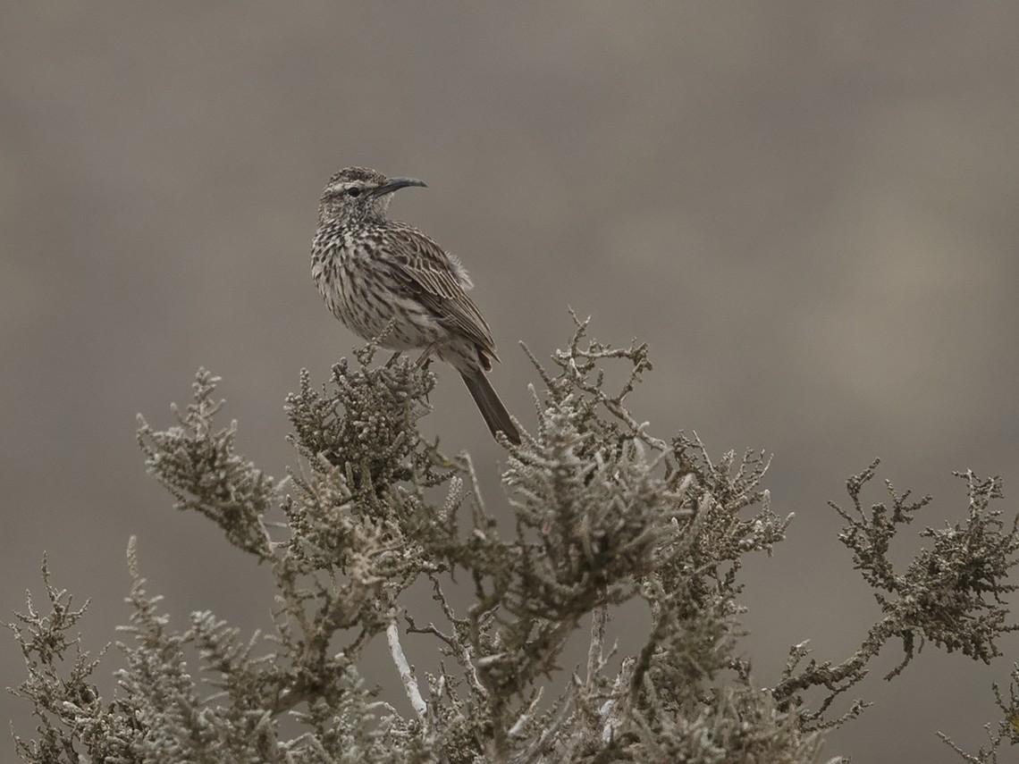 Cape Lark - Niall D Perrins