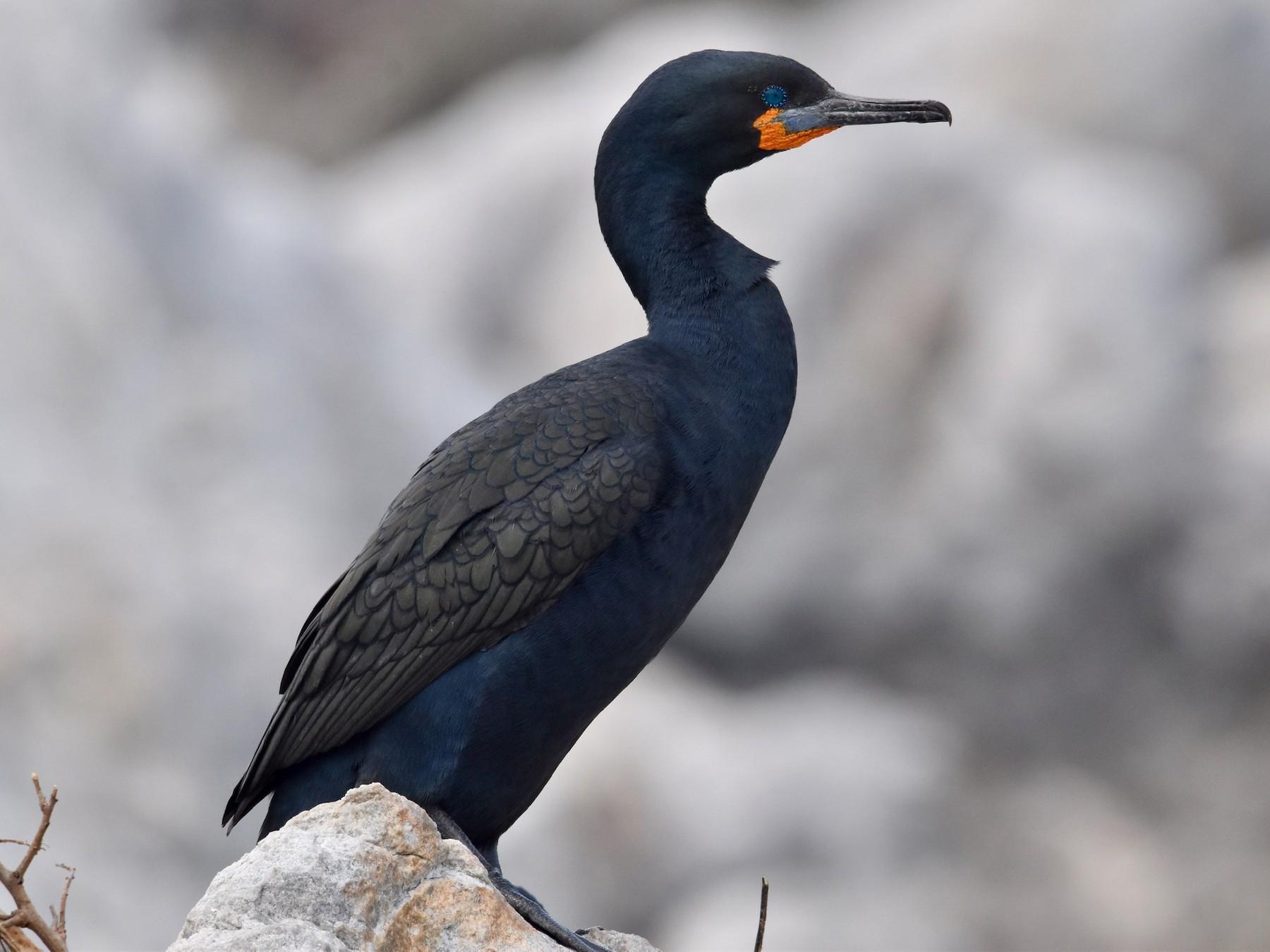 Cape Cormorant - Brad Sale