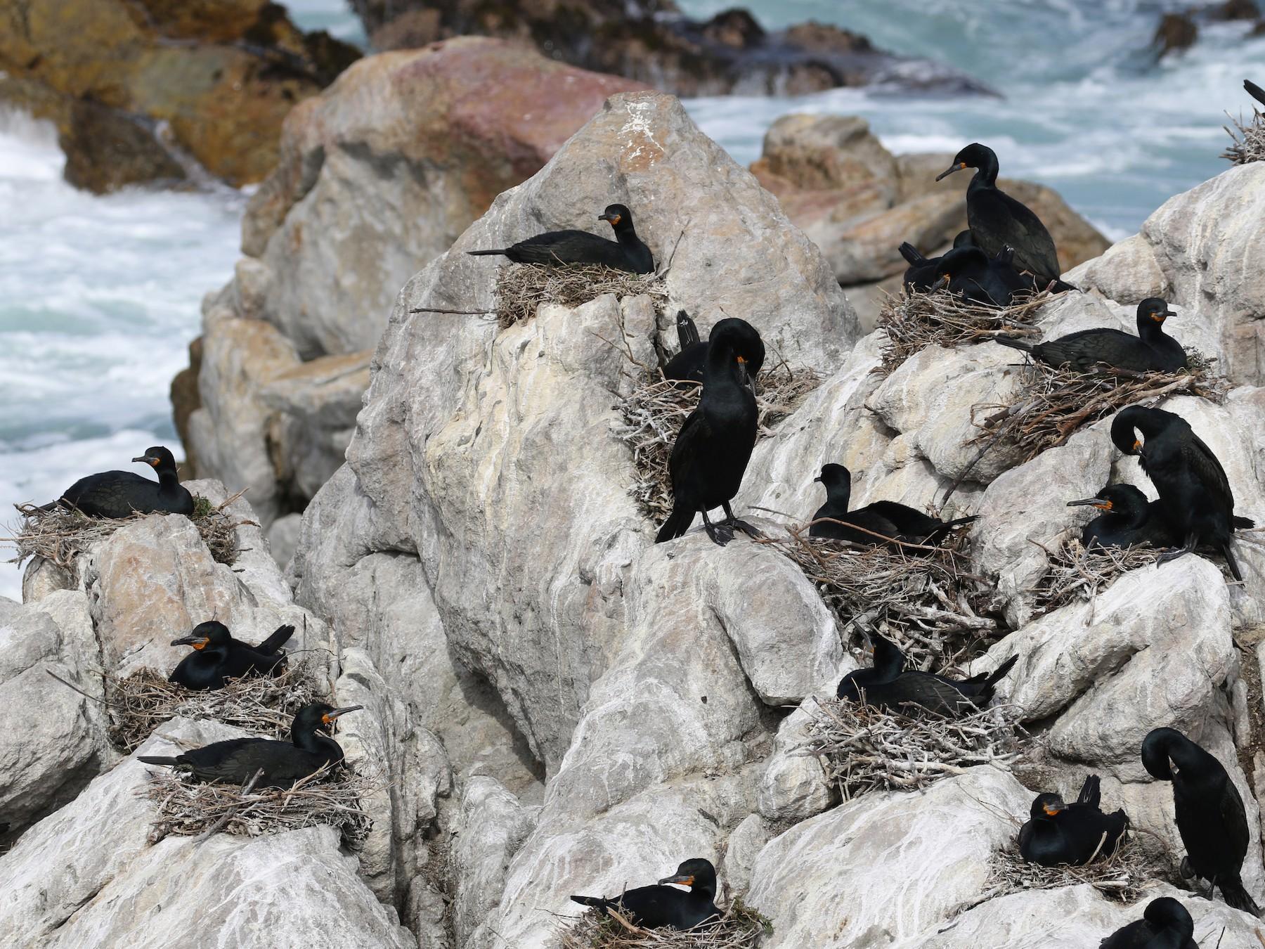 Cape Cormorant - Kathleen Keef