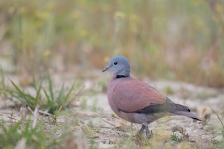 Red Collared-Dove, ML221702991
