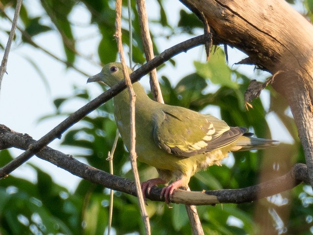 Pink-necked Green-Pigeon