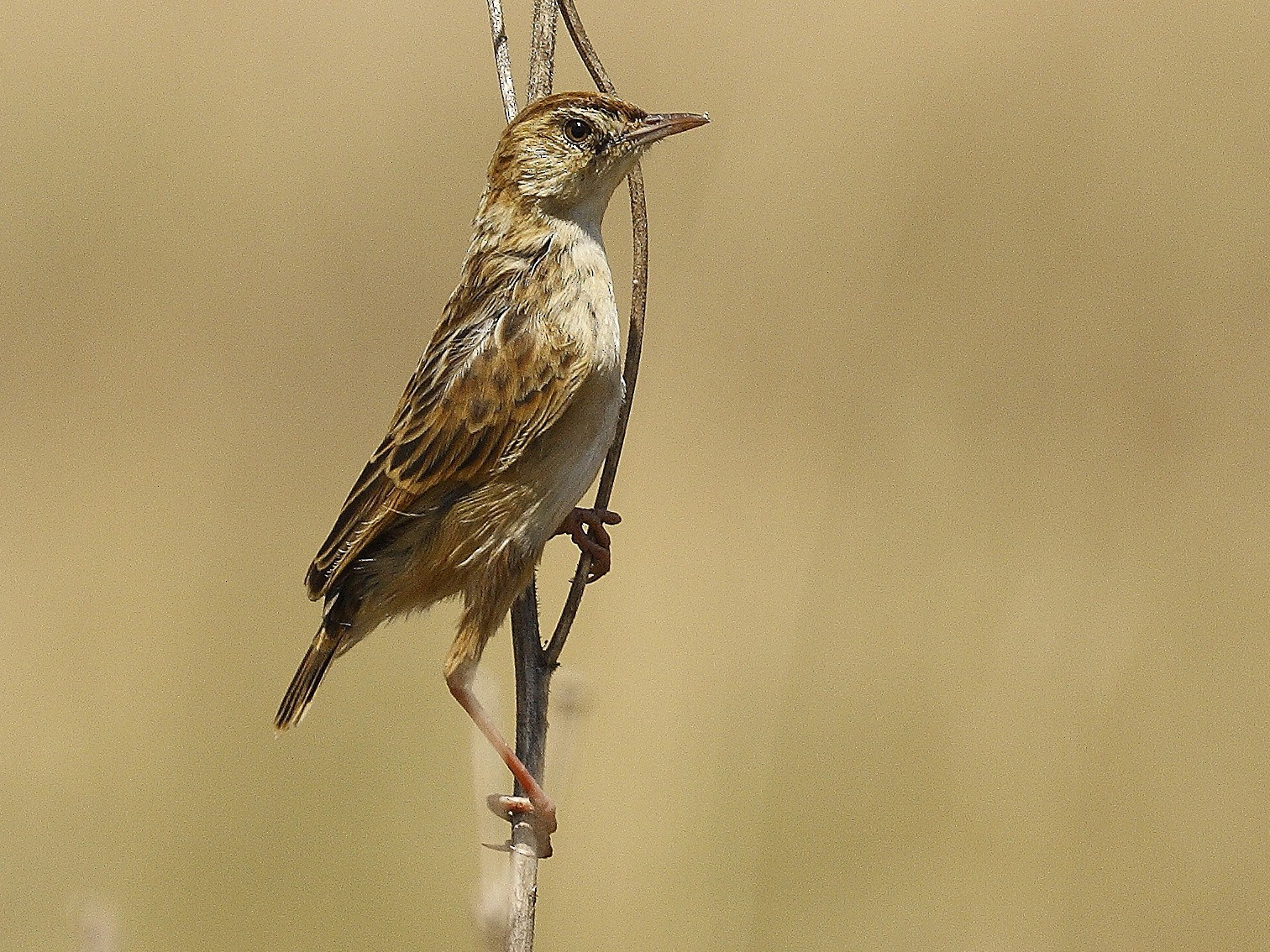 Wing-snapping Cisticola - Loutjie Steenberg